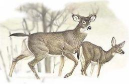 Birth Totem Deer