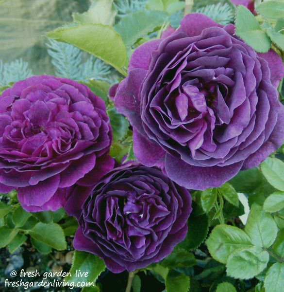 Ebb Tide Rose Floribunda Purple Rose Bush The Top