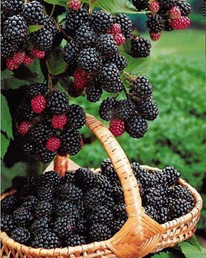 Always picked blackberries as a kid.  All that was needed was a straw hat to keep the sun out of your eyes, a pair of gloves to keep the thorns from pricking and an old coffee can or basket to hold the berries!  Great memories from the farm!
