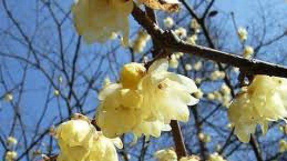 La pianta che fiorisce a gennaio è un rimedio eccellente come ricostituente di mente, corpo e anima