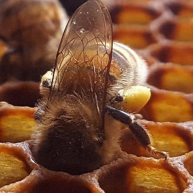 Trabajando en el panal - Working on the honeycomb.