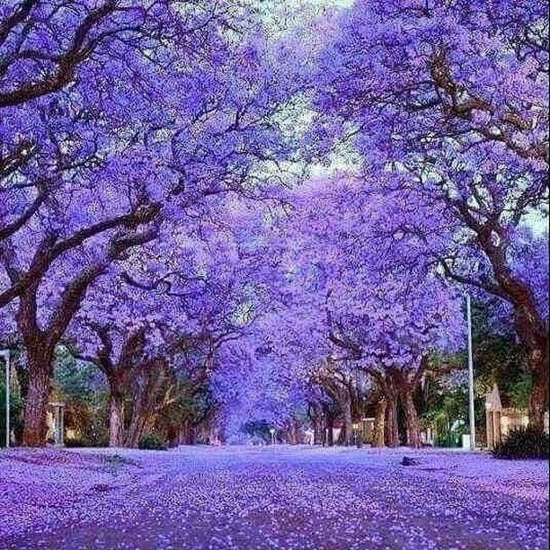 South Africa Travel Tip Love Purple Go To Johannesburg And Pretoria Between Late September To Early November Jacaranda Tree Beautiful Tree Flowering Trees