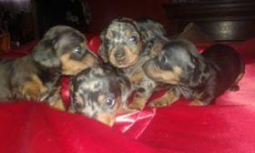 Cachorros Boxer Fca Puros - $ 8.000,00 en Mercado Libre