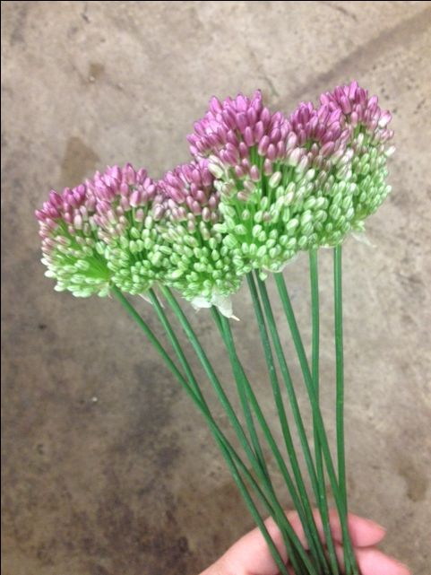 Mini Allium...Sold in bunches of 10 stems from the Flowermonger the wholesale floral home delivery service.