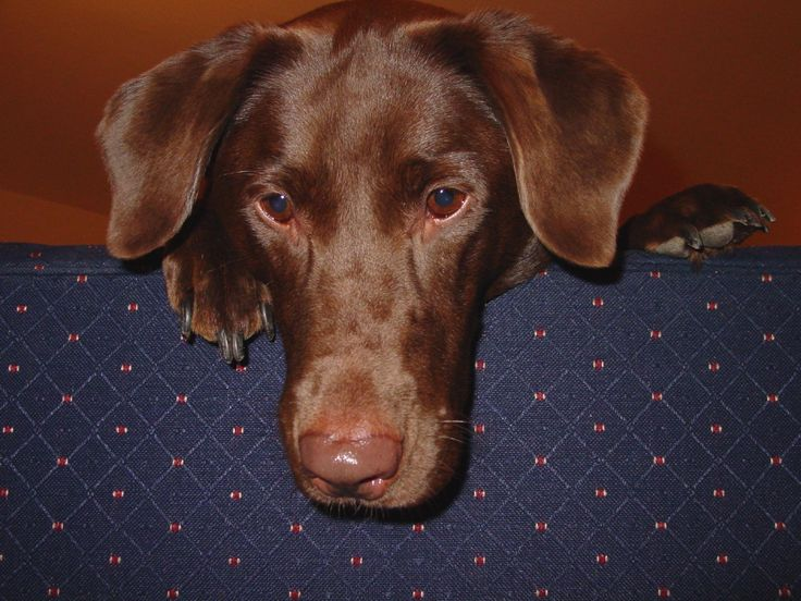 Chocolate Lab Puppies For Adoption | About Dogs Photo Galleries - Chocolate Labrador Retriever Gallery