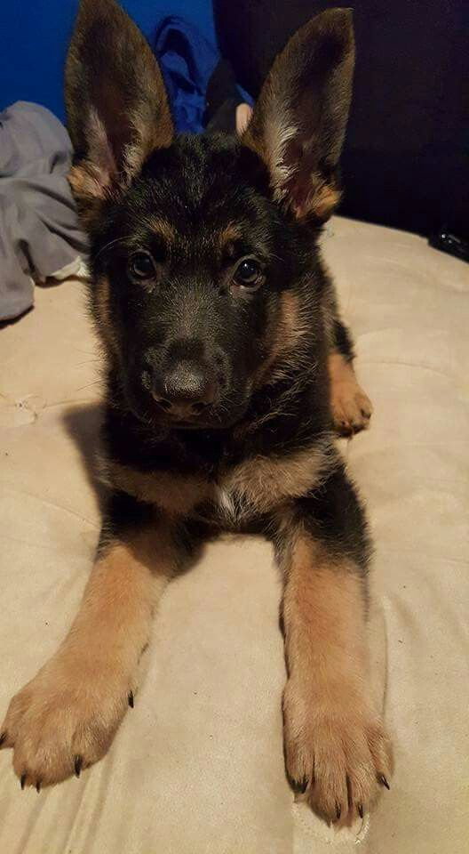 ADORABLE GSD PUP <3