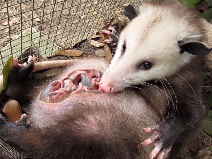 Wild at heart rescue opossum possum pinterest for How did the white house get its name