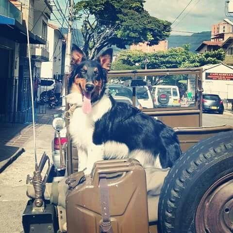 Simon, border collie ♥♥