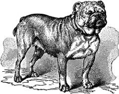 73092_bulldog_lg (Bettie Page Styled) Tags: old dog art dogs illustration vintage early cut drawing antique victorian ears pit bull bulldog pitbull type cropped breed bulldogs pitbulls mastiffs