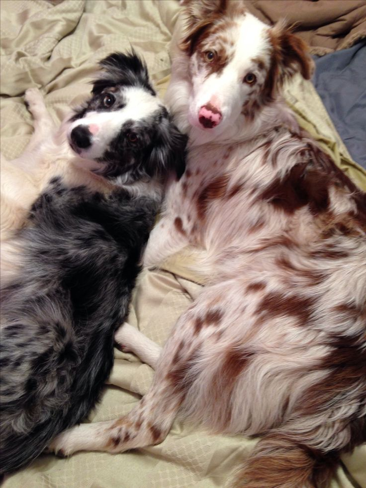 Blue And red Merle border collies... Tilt and bolt!