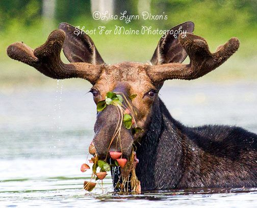 630be650a5ea72b805077cb1ccc393b4 maine wild things 909 best mooses images on pinterest wild animals, moose hunting Biggest Moose in Maine at edmiracle.co