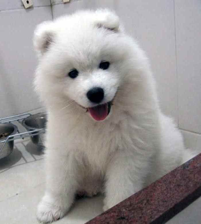 Miniature Dogs That Dont Shed Best small dogs for kids that: Animals, Dogs, Samoyed Puppies, Pets, Puppys, Baby
