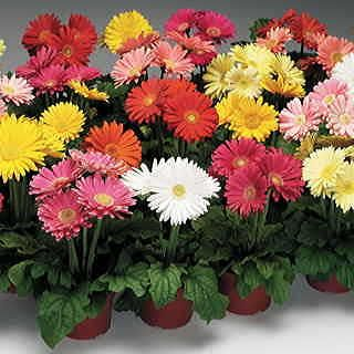 Jaguar Mix is a Gerbera Daisy from seed with a formula mix of 6 bright colors on very uniform plants. All bloom at once, giving you perfect bouquets every time!