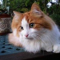 #dogalize Razas Felinas: Angora turco características y carácter #dogs #cats #pets