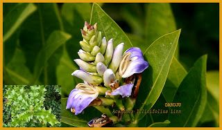 Sehat Idamanku: DARUJUAcanthus Illicifolius Linn  Daruju disebut A...