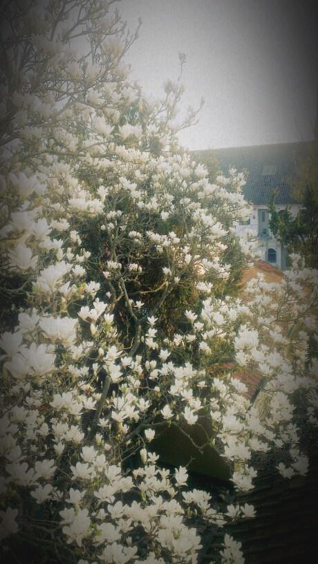 Magnolia heaven!
