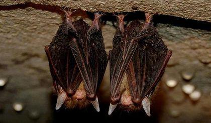 3.De Vleermuis: Vaak overwinteren ze in grote aantallen. Ze kiezen daarvoor donkere plek- ken, zoals grotten, bunkers of forten. Soms vind je ze ook in holle bomen of tussen dubbele muren op zolders. Daar hangen ze ondersteboven aan hun haakpoten met hun kop naar beneden. Sommige soorten slaan hun vleugels om zich heen als een winterdeken. Zo houden ze de warmte van hun lichaam vast.