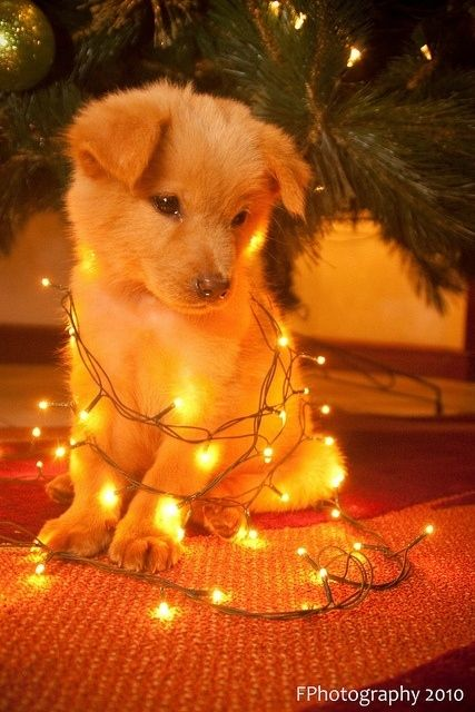 This is cute, but I'm pretty sure my dogs would not sit there like that. They would probably try and eat the lights! Hahaha :)