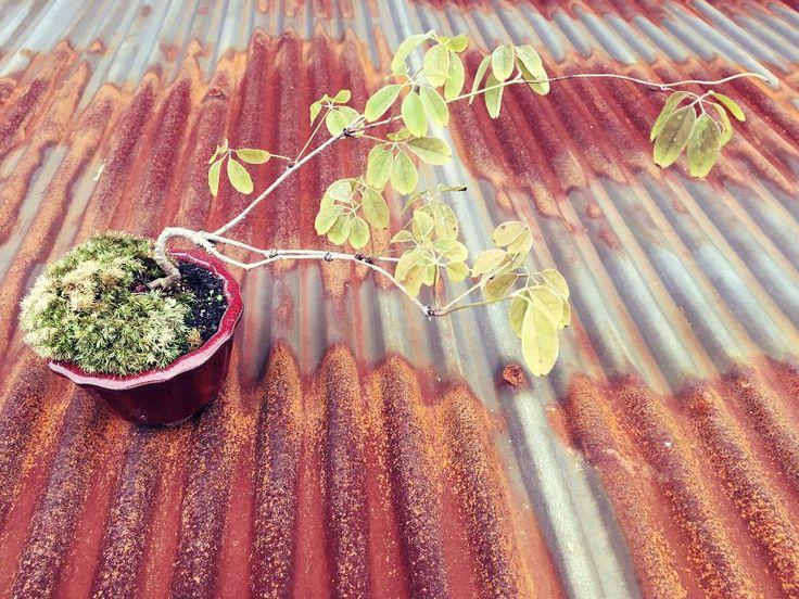 『アケビの姫盆栽 on the SABI SABI』acco☆sunさんが投稿したグリーンのある暮らし,ショップディスプレイ,寄せ植え,たのしー,小さな,はっぱ,ギフト,オープン祝い,植物,ナチュラルガーデン,こけだま,植中毒,ミニ盆栽,季節の寄せ植え,庭木,開店祝い,小さな幸せ♡,リビング,苔玉,ジャングル化計画,ガーデニング,小品盆栽,盆栽,盆栽のある暮らしコンテスト,グリーンの画像です。 (2017月1月31日)