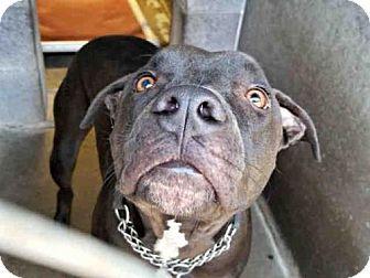 Mesa, AZ - Shar Pei Mix. Meet PEPPER, a dog for adoption. http://www.adoptapet.com/pet/18503669-mesa-arizona-shar-pei-mix