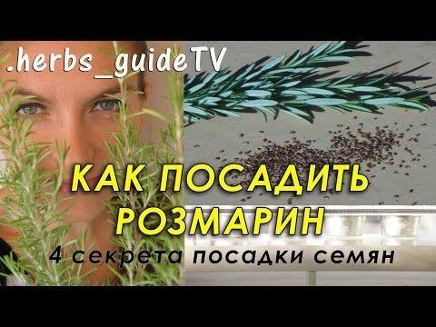 Как посадить розмарин из семян. 4 секрета успешного прорастания - YouTube