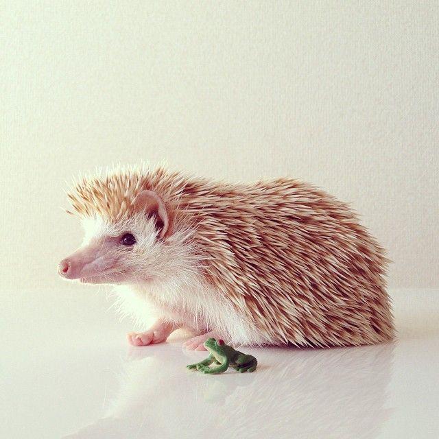 Best Cute Pygmy Hedgehogs Images On Pinterest Pygmy - Darcy cutest hedgehog ever
