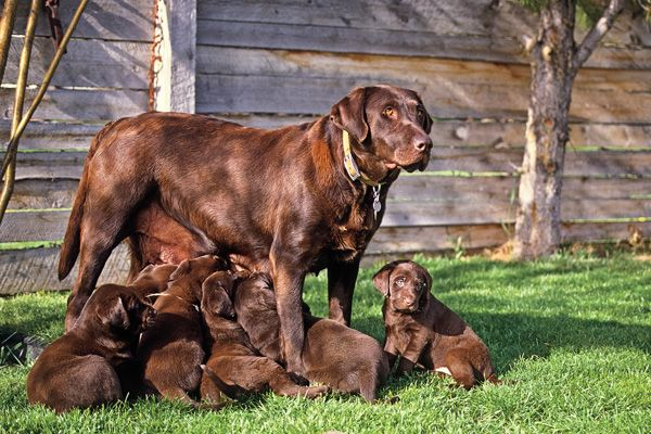 GUN DOG Q&A: How to Properly Wean Puppies - Gun Dog Magazine