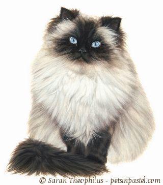 Himalayan cat jinxy