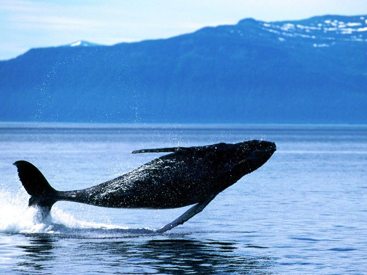 This gigantic whale is just flying over the sea! #Whale #Sea #animal