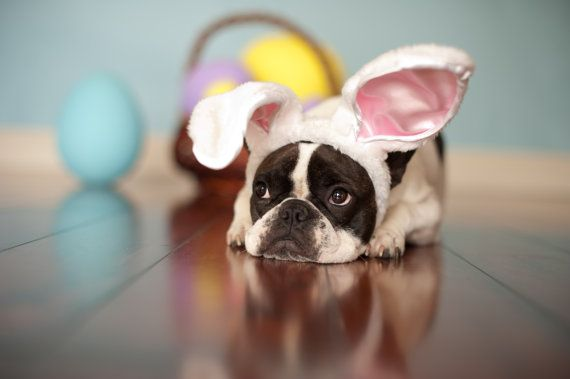 this just makes me smile (French Bulldog Easter Stock Image)