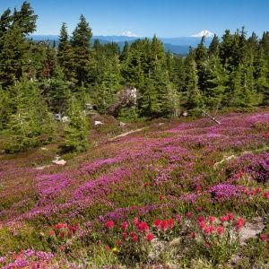Mount Hood Wildflower Walks, OR Getaway from: Seattle  Head to Mount Hood, Oregon's tallest mountain at more than 11,000 feet, in the late spring, when its trails are surrounded by blossoming wildflowers. Stop at the Mount Hood National Forest Headquarters to find out what's blooming (depending on the month, you might see lupine, columbine, purple foxglove, fireweed, Indian paintbrush, or asters). With 1 million forested acres, stretching 60 miles from the Columbia River Gorge to the Olallie…