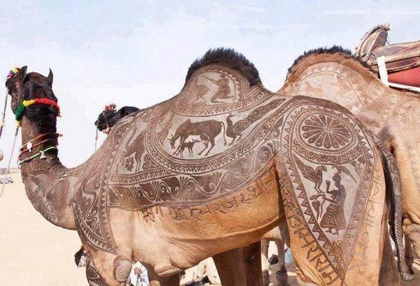 Rajasthani people shave their camels with intricate designs during the Desert Festival (PATTERNITY on Twiter)