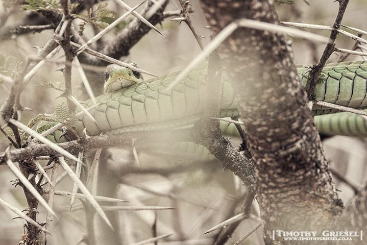 WATCH OUT: I'm watching you. This beautiful boomslang gave me this fantastic opportunity to capture some images of it as it curled up in this tree.   #animallovers #animalpolis #animalsofinstagram #igscwildlife #animales #exclusive_animals #wildlifephoto #wildlifeaddicts #wildlifephotography  #afrika #igs_africa #afrique #canonphotos #canoneos #wildlife #wildlifephotography