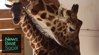 Animal Adventure Park Giraffe Cam - YouTube