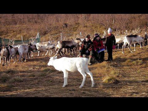 First Reindeer Separation in This Autumn, Syksyn ensimmäinen poroerottelu - YouTube