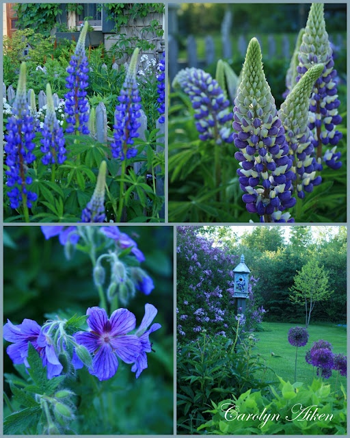 104 Best Images About Terraria On Pinterest: 104 Best Lupine-my Favorite Flower Images On Pinterest