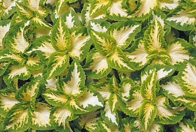 Coleus Wizard Jade http://www.parkswholesaleplants.com/wp-content/uploads/2009/04/coleus-wizard-jade.jpg?96f0cf