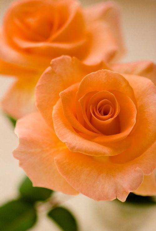 Dark Peach Roses - Stunning Color