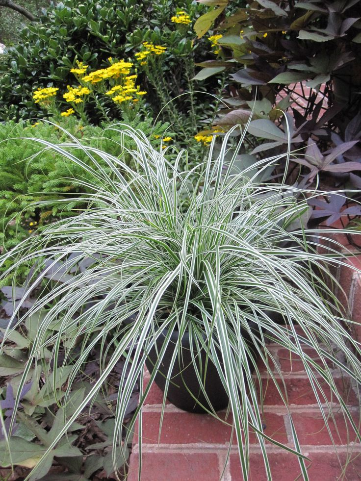 43 best vert images on pinterest gardening for Short growing ornamental grasses
