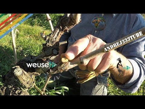 Potatura vite: Guyot francese semplice, cordone speronato, alberello(doppia forcella) #gardening - YouTube