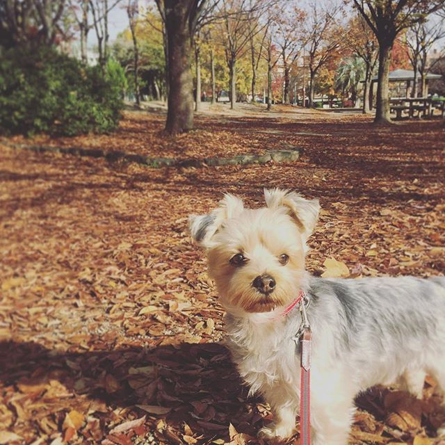 朝の散歩✲*゚ あんなにも、紅葉して  素敵に色づいてた公園も ほとんどの葉が✨🍂落葉に… * もの思いにふける🐶 chocoちゃん〜帰るよ! * * * #igersjp #朝の散歩 #近所の公園 #紅葉#落葉 #愛犬 #ヨーキー #choco #いつも一緒