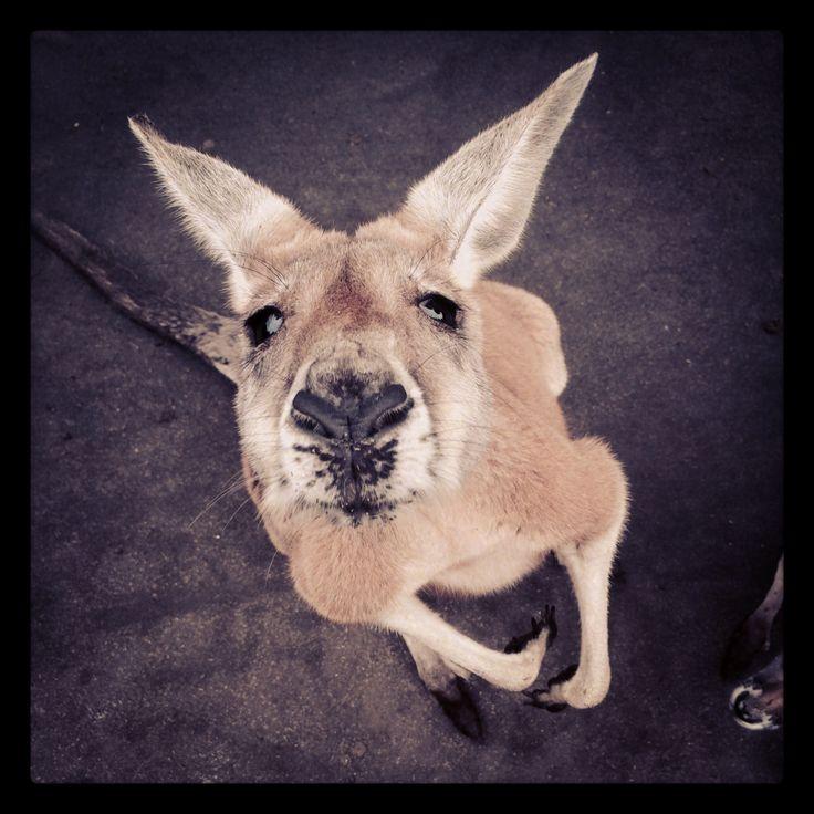 Feeding Kangaroos at Whiteman Park, Perth WA. Photo taken by CSainsbury