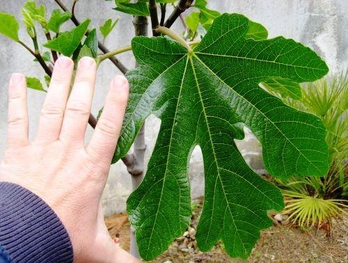 """Ако ви измъчва наднормено тегло, смокините са идеалният плод за васМоже би и през ум не ви е минавало колко много лечебни свойства притежават листата от смокиня.В Индия например наричат всяко дърво смокиня """"Дървото на бедните"""", тъй като има плодове почти"""