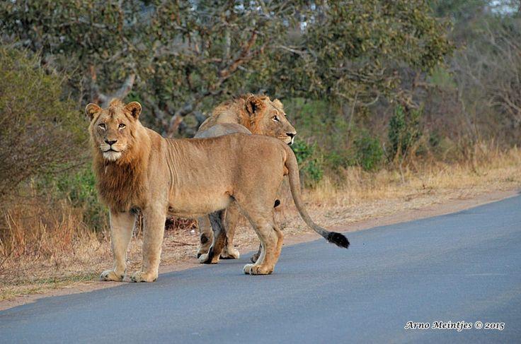 https://flic.kr/p/vr3hFb | DSC_1783 | Lions
