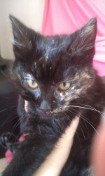 Nyla is an adoptable Tortoiseshell Cat in Baltimore, MD. Nyla is a 9 week old fur-ball. She loves to be cuddle and lay in your lap. She can be a bit shy at first, but warms up quickly. If you'd like t...