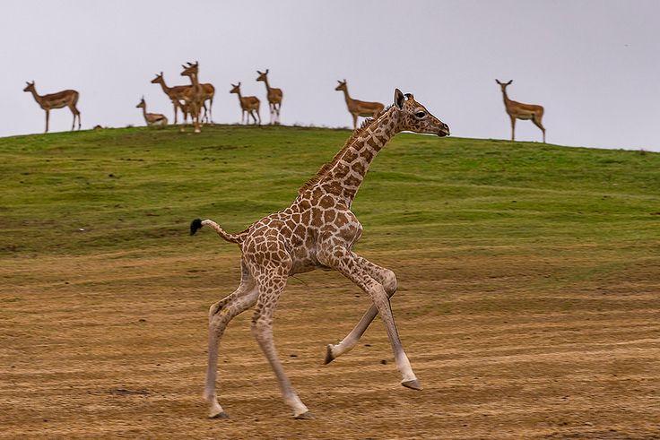 2-week-old Giraffe Calf | von San Diego Zoo Global