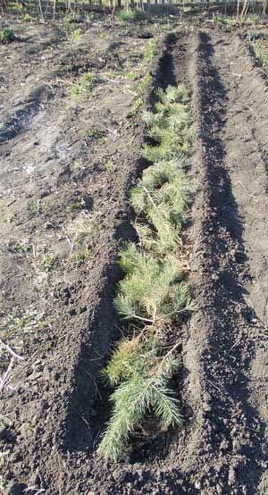 Узкие грядки: Копаем землю на два штыка лопаты длиной пять-семь метров. Рыхлим ее и формируем грядку шириной в 45 см, вместе с бортиками. То есть за минусом бортиков ширина внутренней части грядки у нас должна быть 30-35 см. Читать больше: http://nashadacha.info/topics/uzkie-gryadki/
