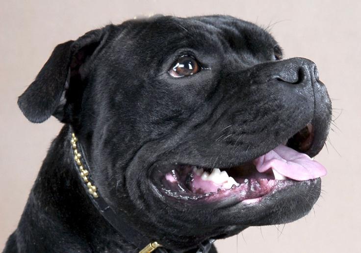 Staffordshire Bull Terrier photo