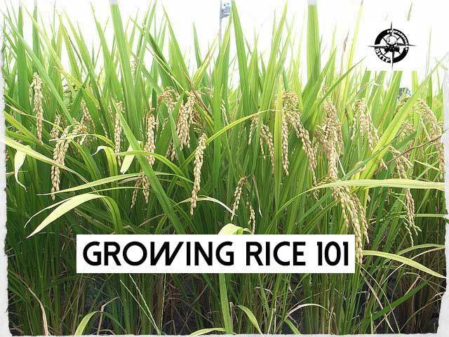 Growing Rice 101 - Free PDF, free, pdf, book, food, shtf, carbs, preparedness, homesteading, farming, how to grow rice,