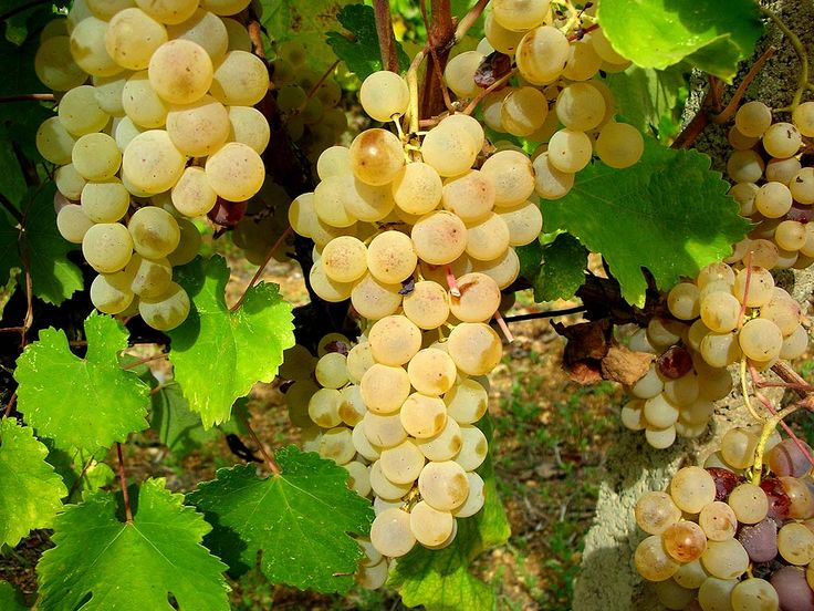 """Vitigno Vernaccia, Sardegna.  Questo superbo vino, orgoglio della enologia sarda, deve la sua particolarità ad una maturazione ossidativa di almeno 3-4 anni in botti scolme, di rovere o castagno. Oltre alla DOC Vernaccia di Oristano, prima Denominazione riconosciuta in Sardegna nel 1971, da questo tipico vitigno, si ottiene anche un vino bianco giovane che viene commercializzato come IGT """"Valle del Tirso""""."""